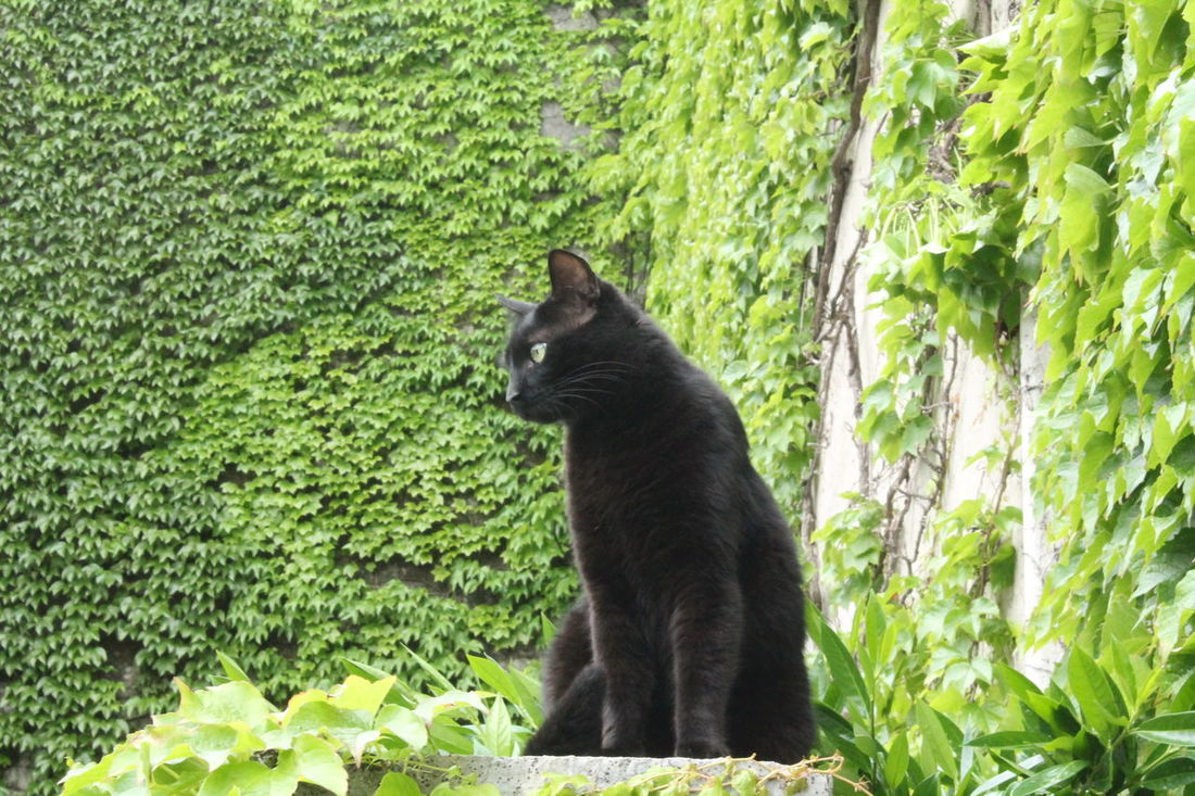 Cat Domestic Animals Nature Animals Cats Animal Meow Domestic Cat Cat Watching Black Cat Nature Photography Cat Eyes Nature_collection Neko Cat Lovers Animal_collection Gatto Nero Animal Photography Gatto Animals In The Wild Domestic Animal Green Ivy Ivy Wall Edera