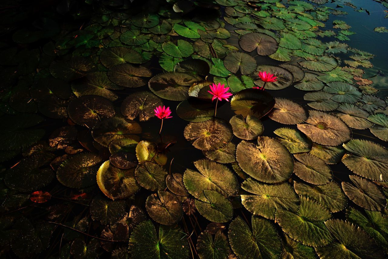 High Angle View Of Flowers Growing In Water
