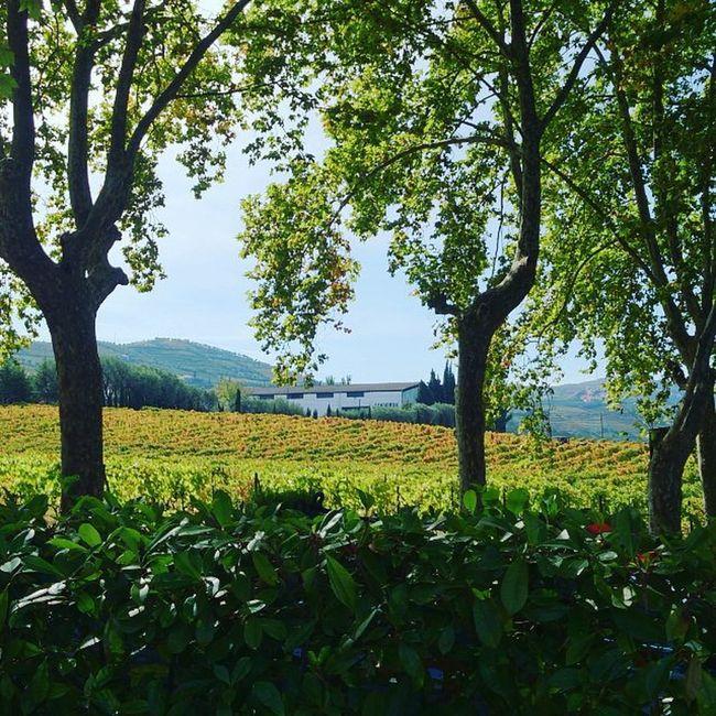 Quinta da Pacheca Douro  Vinho Wine Portwine Quinta Vindima