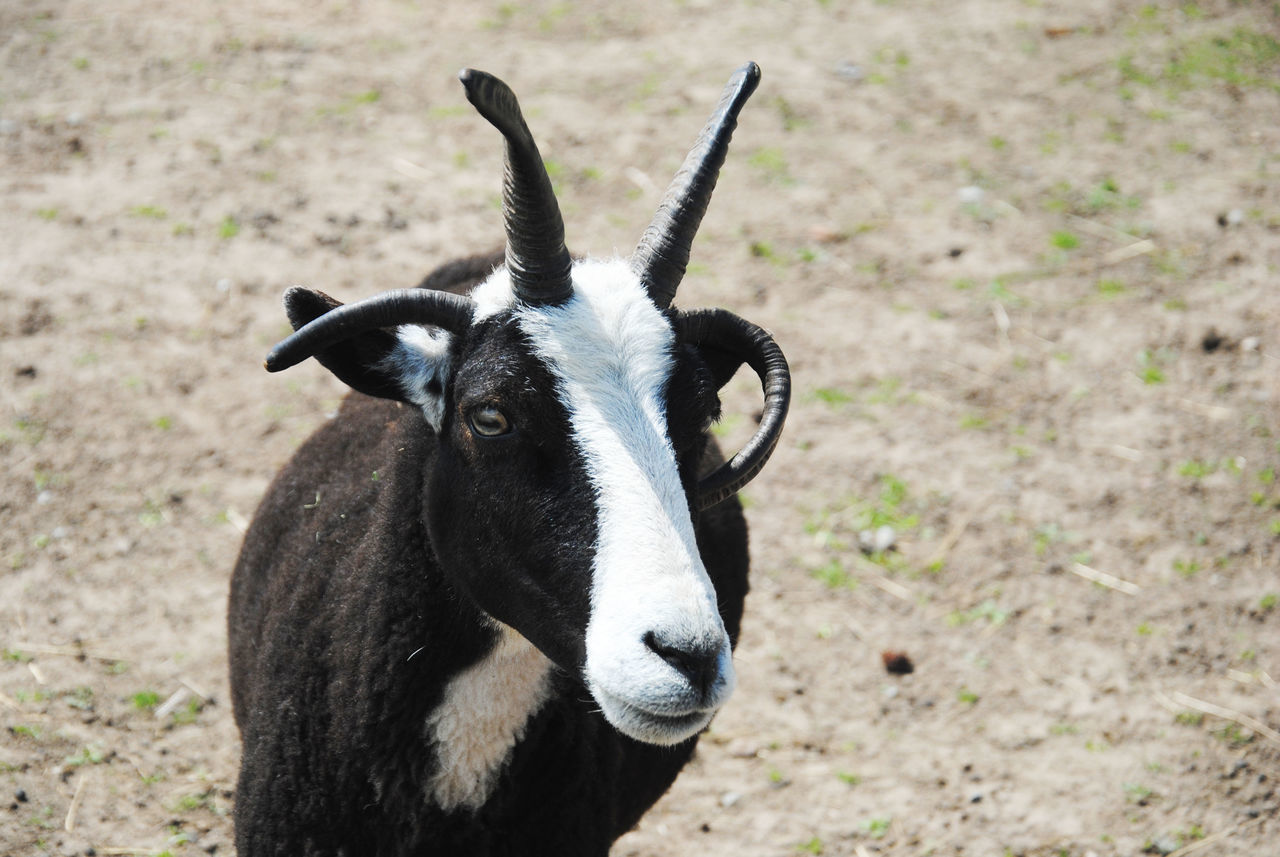 Close-Up Portrait Of Goat On Sunny Day