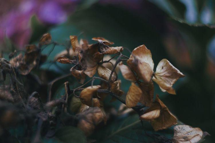 Oldlense Flower Flowers Hydrangea Flower