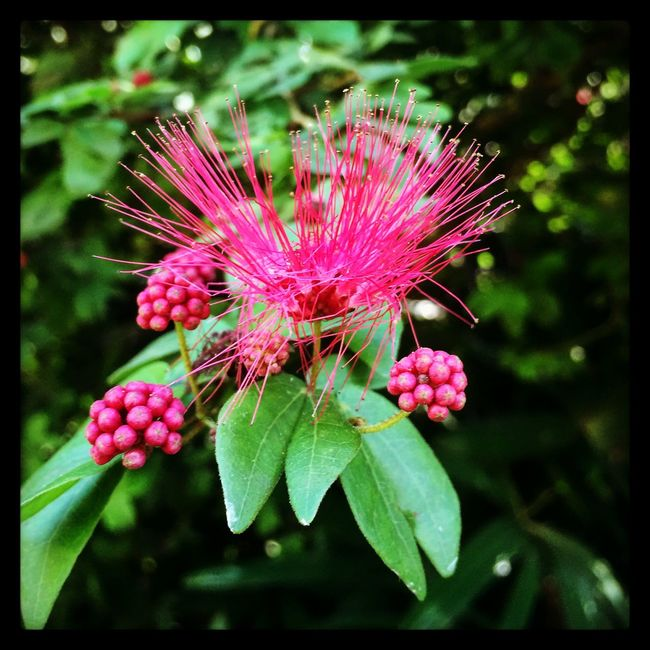 Pink Powder Puff Flora Florida Plants Pink Powder Puff Pink Nature Enjoying The Sights Paradise Taking Photos Nature's Diversities