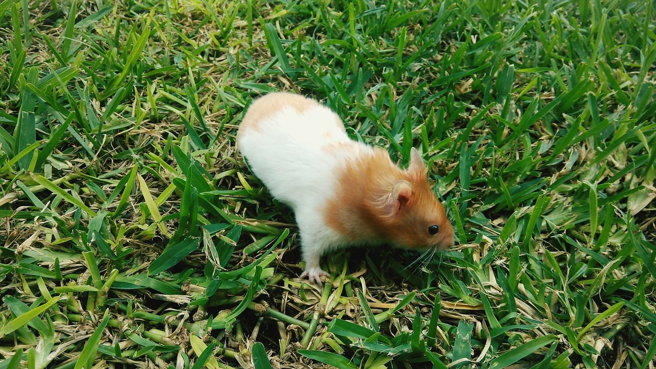 Hamster Exploring Grass Deceptively Simple