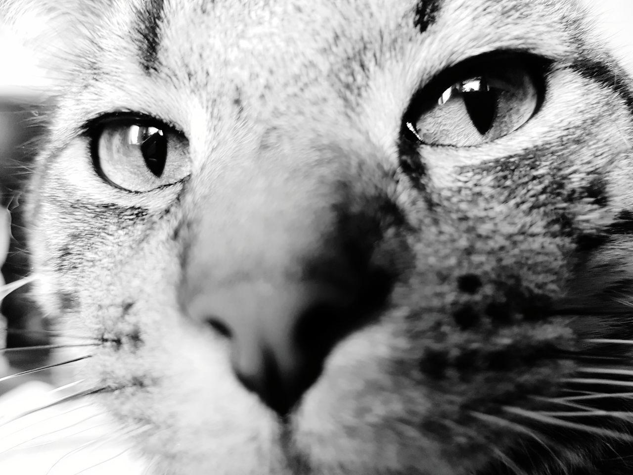 Looking At Camera Domestic Cat Pets Portrait Eye Animal Eye Animal Body Part One Animal Feline Close-up Animal Head  Domestic Animals Animal Themes Mammal Human Eye Iris - Eye Eyesight Yellow Eyes Indoors  Day Cat♡ Cat Lovers Cats Of EyeEm Cateyes Cats