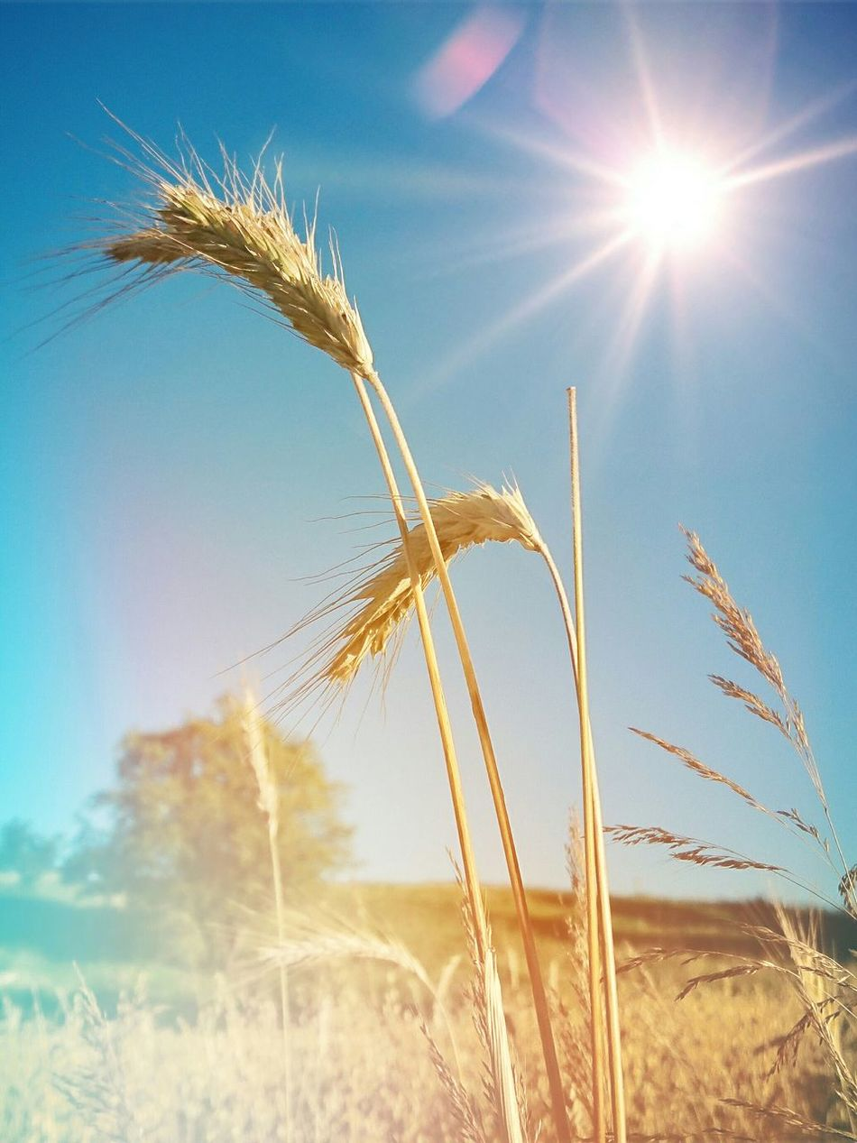 Nature Agriculture Sky Day Sunlight Wheat Growth Rural Scene Sun Plant Summer Gold Colored Beauty In Nature Scenics Outdoors No People Field Poland Warmia
