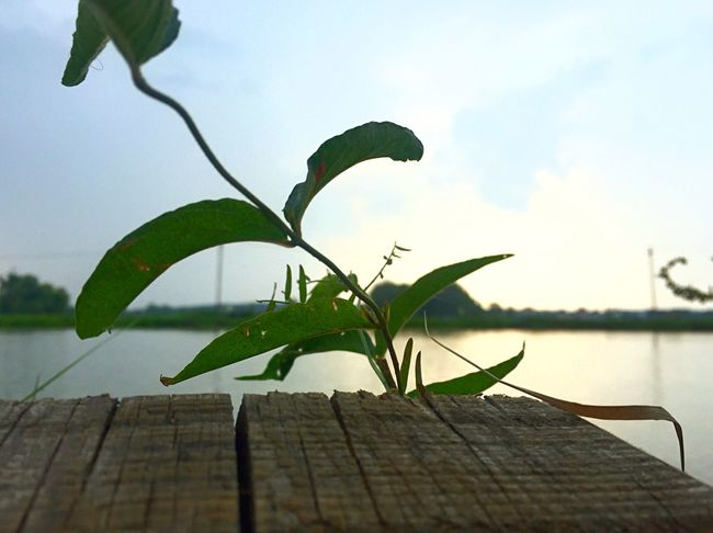 Leaf Close-up Plank Focus On Foreground Water Pier Tranquility Sky Wooden Wood - Material Nature Plant Scenics Lake Beauty In Nature Twig Fragility Growth Cloud Tranquil Scene