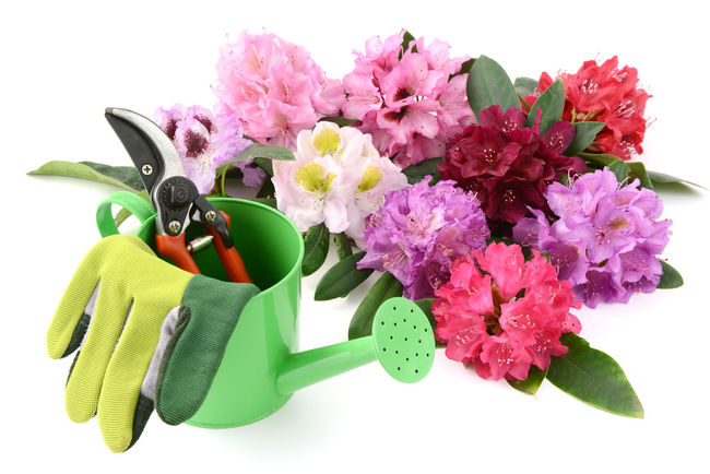 rhododendron flowers on white isolated background with garden tools Flower Flower Head Gardening Gloves Gardening Tools Gardentool Isolated Isolated On White Isolated White Background Rhododendron Rhododendronblossoms Rhododendroninbloom Rhododendrons Shears Studio Shot Watercan White Background