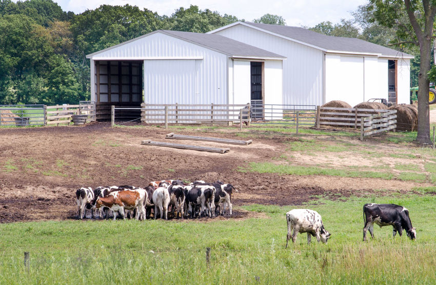 rural farm scene in Michigan USA Animal Themes Architecture Building Exterior Cow Day Domestic Animals Field Grass Grazing Large Group Of Animals Livestock Mammal Nature No People Outdoors Rural Scene Sky