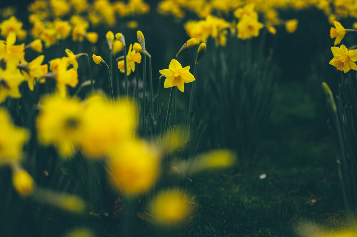 Art Is Everywhere Beauty In Nature Blooming Close-up Day Field Flower Flower Head Fragility Freshness Grass Growth Jonquille London Narcissus Narcissus Flowers Nature No People Osterblumen Osterglocke Outdoors Petal Plant Selective Focus Yellow