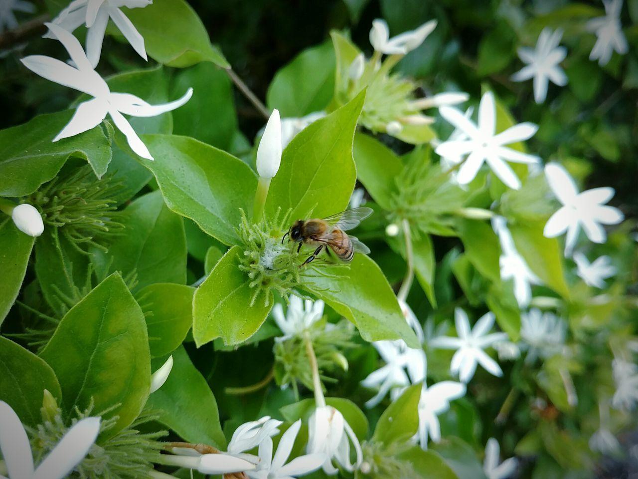 Nature Plant Animal Themes One Animal Outdoors Close-up Insect Freshness Honey Bee Bee White Flowers White Jasmine Jasmine Flower