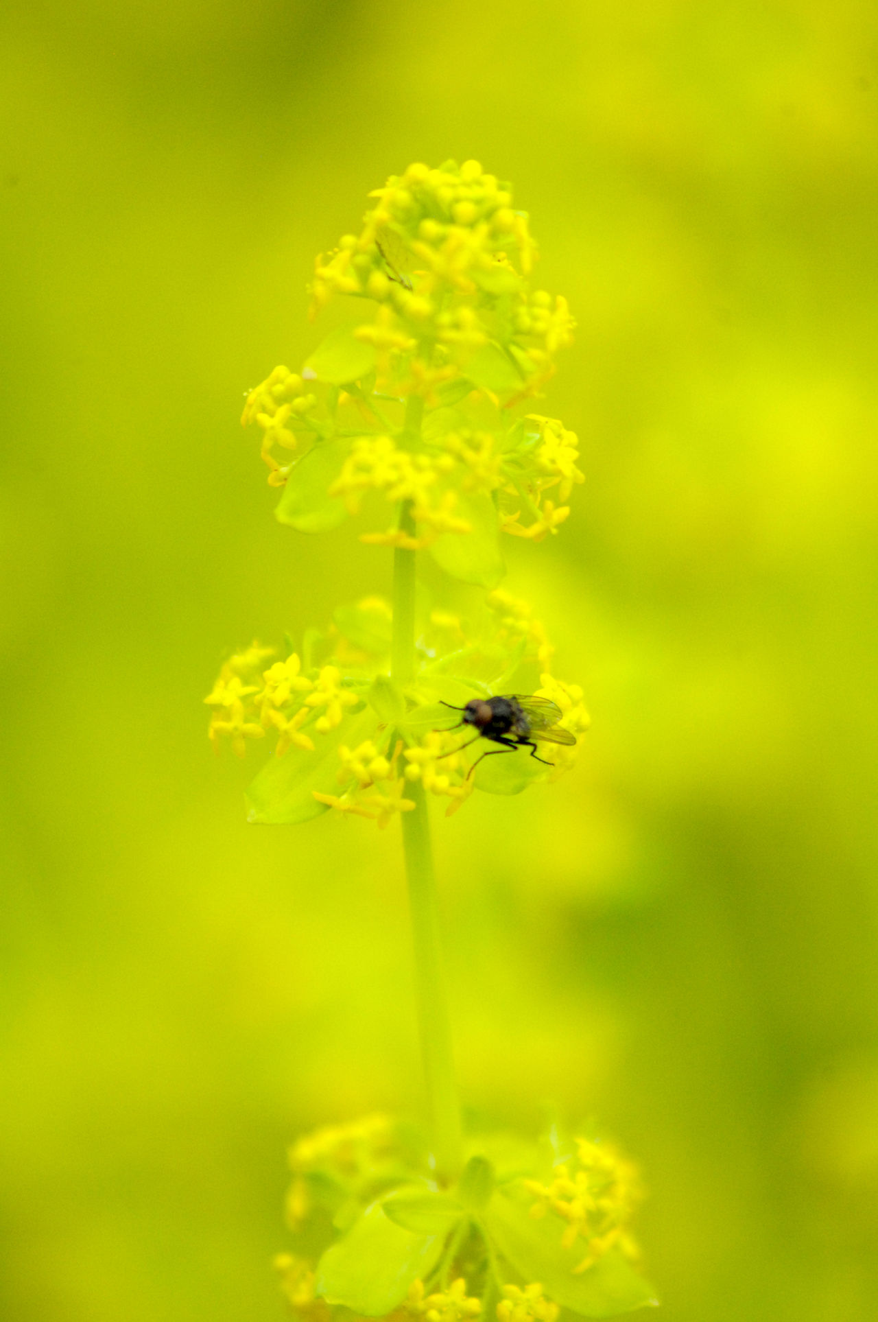 fly Animal Themes Animals In The Wild Bokeh Close-up Day Fly Grass Insect Insects  Nature No People One Animal Outdoors Plant Soft Focus Softness Yellow Yellow Flower