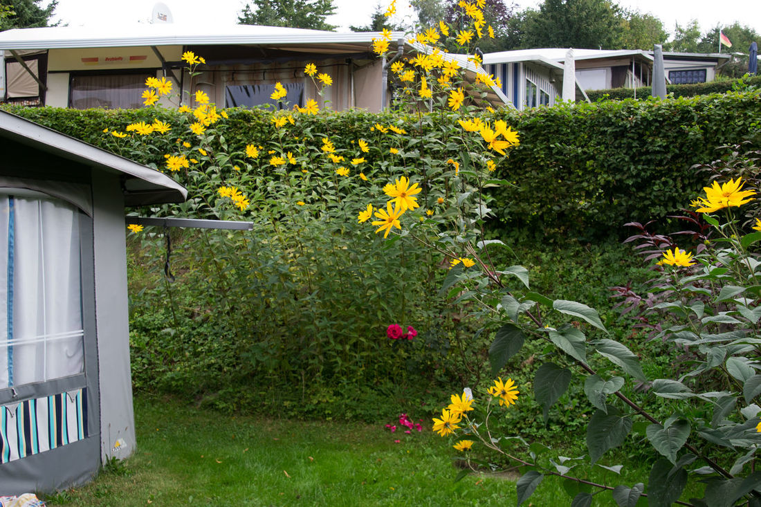 Beauty In Nature Built Structure Camping Camping Place Flower Flower Head Flowering Fragility Front Or Back Yard Green Color In Bloom Lake Ratzeburg Lawn Nature Outdoors Outside Petal Plant Taking Photos Vanishing Point Yellow