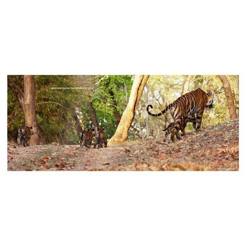 Mom with her cubs. :) ShounakNayakPhotography Wildlife Bandhavgarh Tiger savethetiger