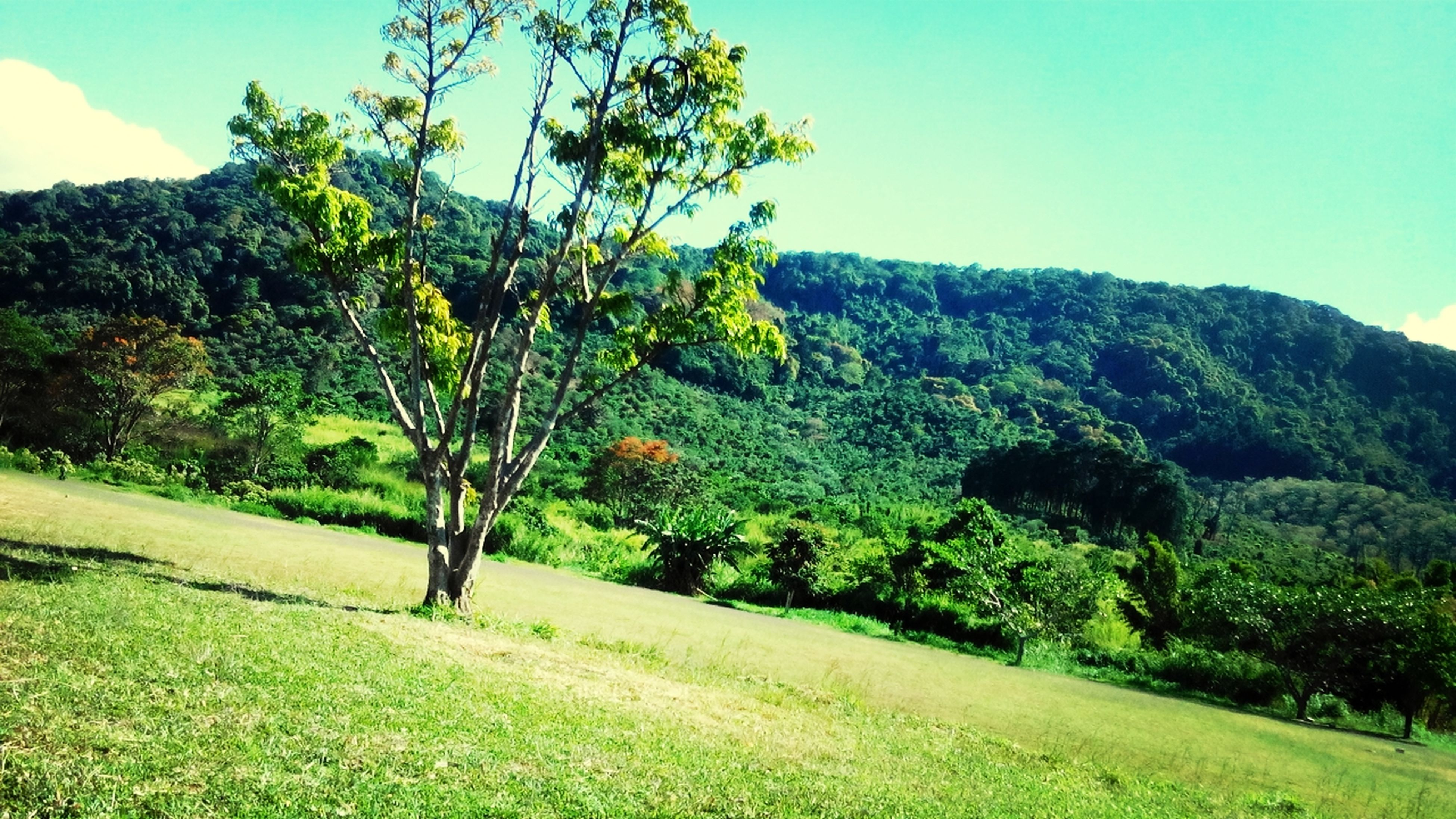 tree, green color, tranquility, tranquil scene, mountain, grass, clear sky, landscape, growth, beauty in nature, scenics, nature, green, sky, sunlight, lush foliage, field, non-urban scene, blue, hill