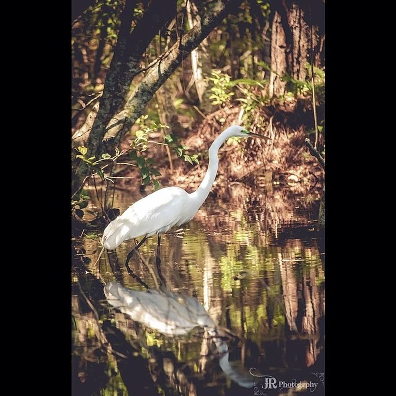 Well Hello there Sir! Egret Audubon Southcarolina Hiltonheadisland