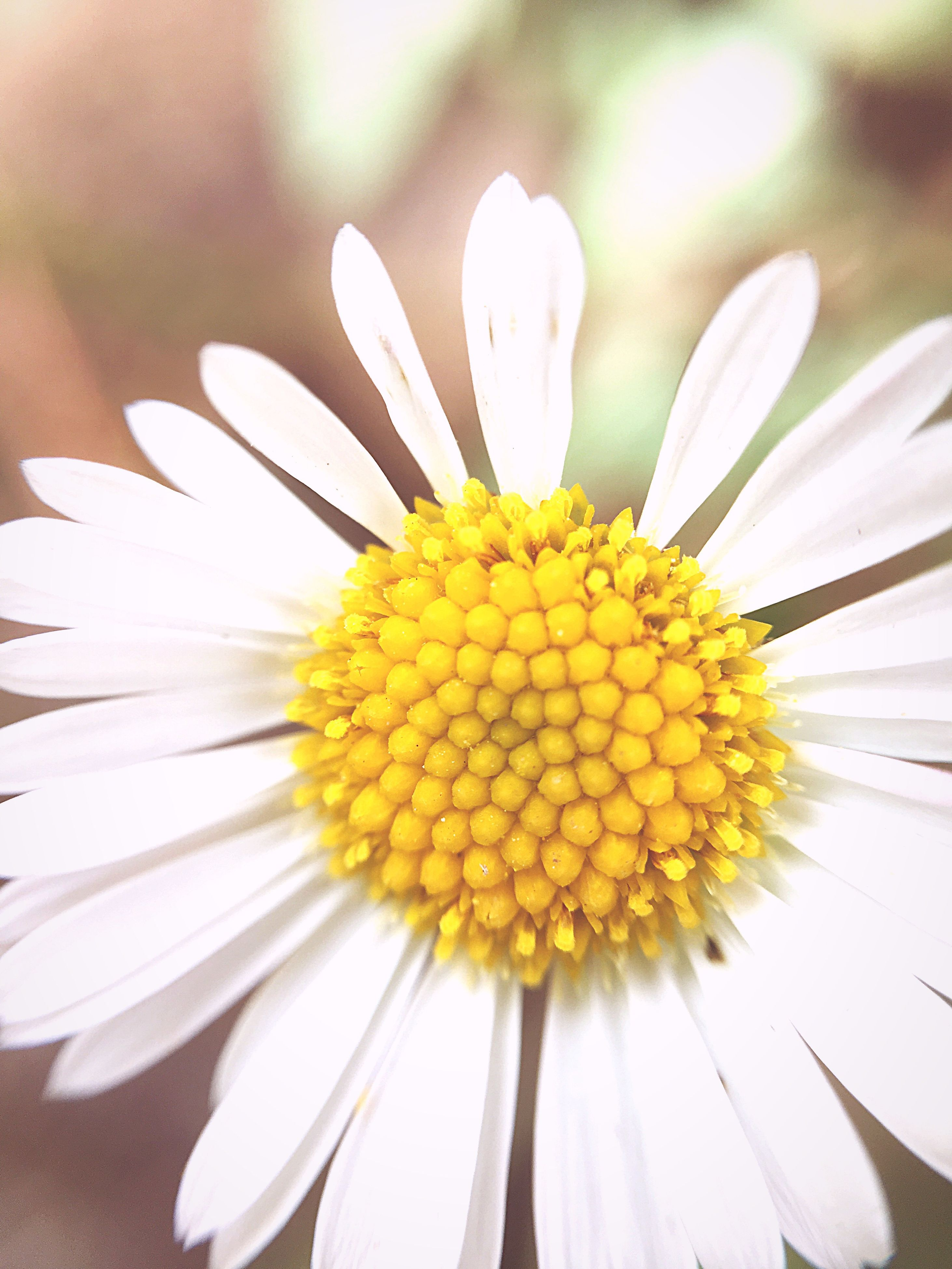 flower, freshness, fragility, flower head, petal, close-up, daisy, beauty in nature, growth, single flower, springtime, in bloom, white color, yellow, nature, selective focus, macro, plant, pollen, botany, blossom, extreme close-up, softness, focus on foreground, bloom, blooming, no people