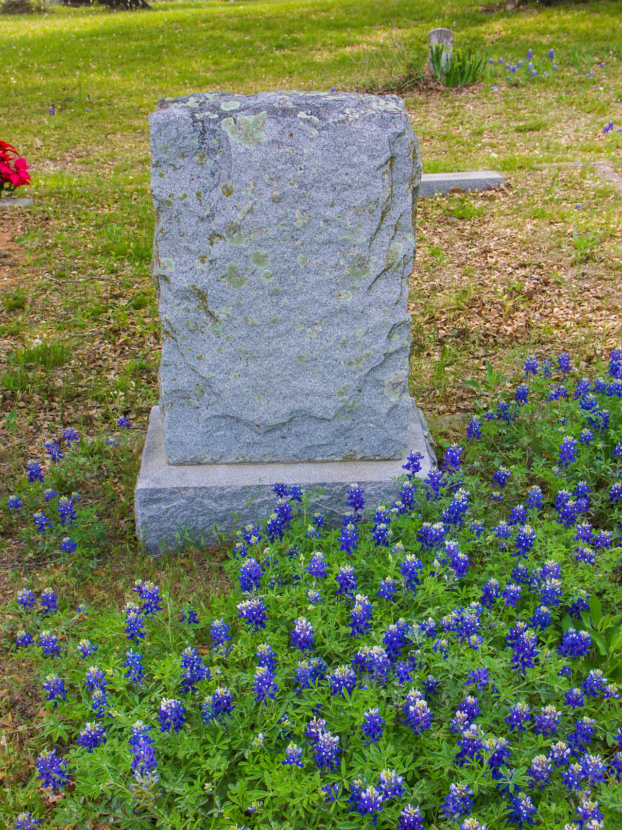 Texas Hill Country in the spring with bluebonnets, Indian paint brush and cacuti blooming. Bluebonnets Gravestone Graveyard Graveyard Beauty Headstone Spring Spring Flowers Springtime Texas