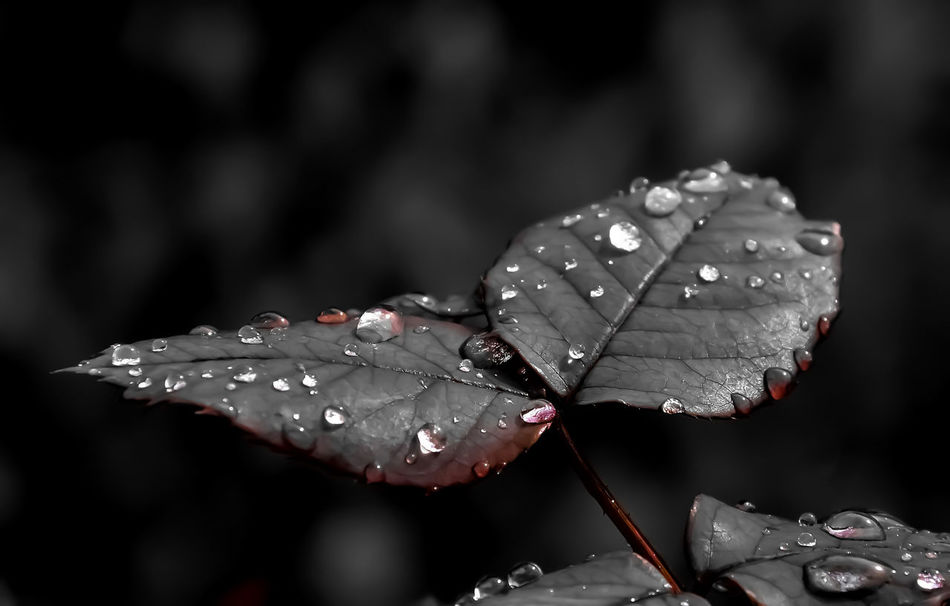 Beauty In Nature Carmine Close-up Day Drop Fragility Freshness Leaf Nature Outdoors Rain RainDrop Water Wet
