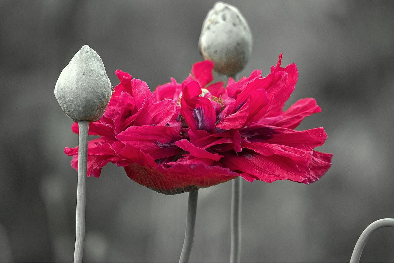 the elegance of poppies Beautiful Beautiful Nature Beauty In Nature Blooming Close Up Close-up Day Flower Flower Head Fragility Growth Nature No People Outdoors Plant Poppy Poppy Flowers Red EyEmNewHere