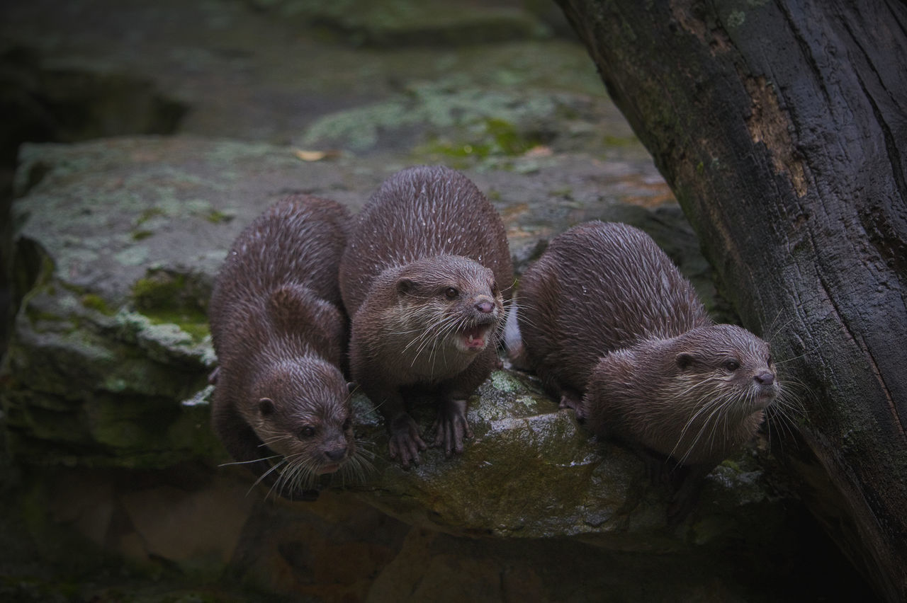 Animal Themes Canon Day Family Hungry Mammal Martens No People Otter Otters Outdoors Raw Raw Photography Sea Otter Sea Otters Sitting Stone Three Togetherness Trunk Vignette Whiskers