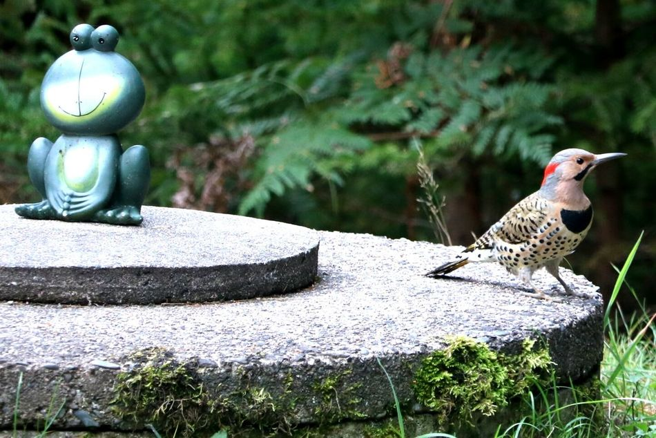 Northern Flicker With Frog