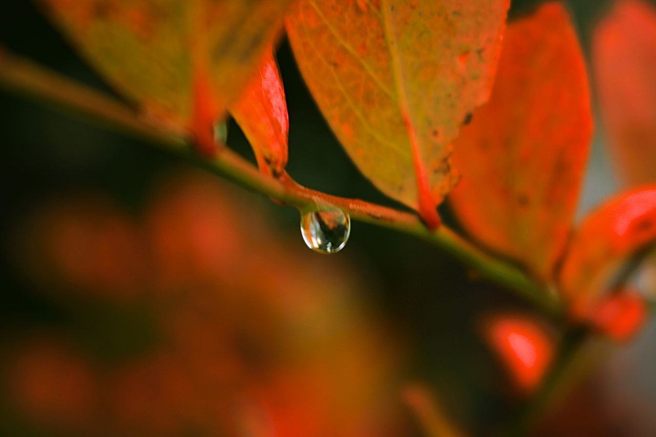 Leaf Autumn Nature Drop Beauty In Nature Fragility Change Plant Close-up Outdoors Selective Focus Water Day No People Red Growth Focus On Foreground Freshness Purity Drop Photography EyeEm Dropmaster Drops Collection Drops Of Rain EyeEm Nature Lover Autumn Collection