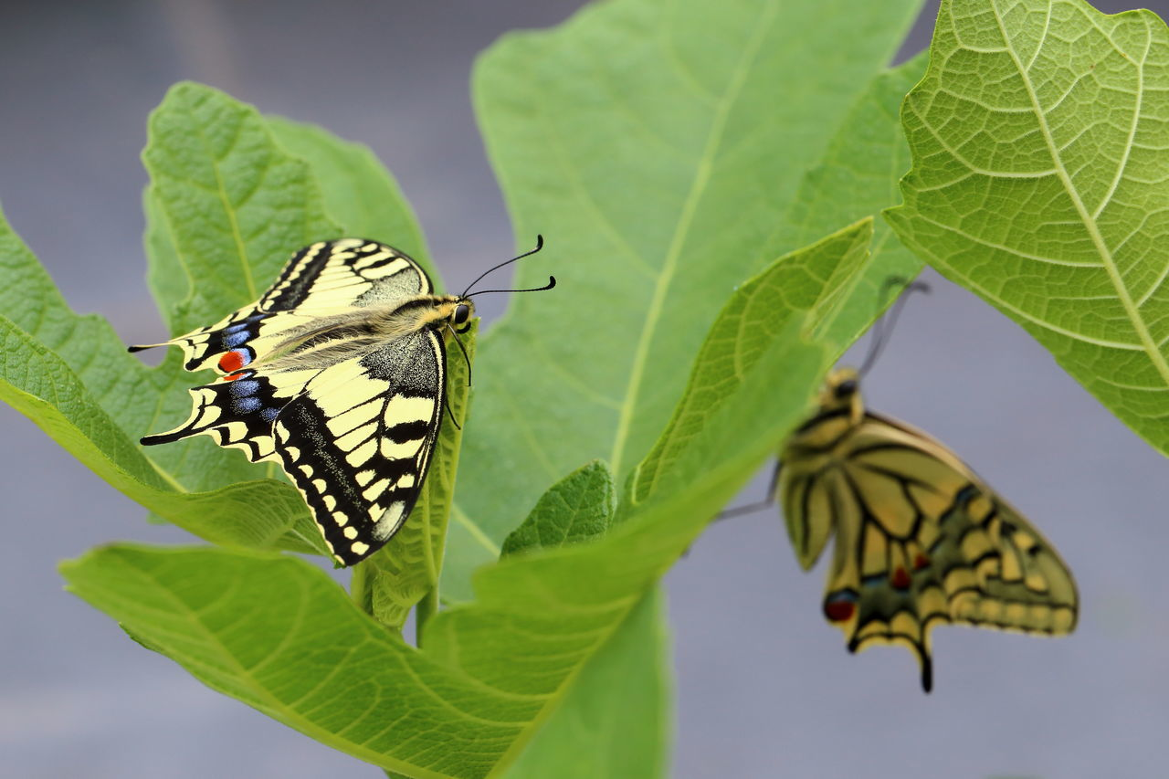 Swallowtail butterflies on fig leaves. Beginnings Butterfly Colorful Enjoying Life Entomology Eye4photography  EyeEm Best Shots EyeEm Gallery EyeEm Nature Lover Fig Garden Green Color Hatched Hello World Insect Leaves Nature Pair Papilio Machaon Resting Swallowtail Butterfly Togetherness Twins Two Waiting