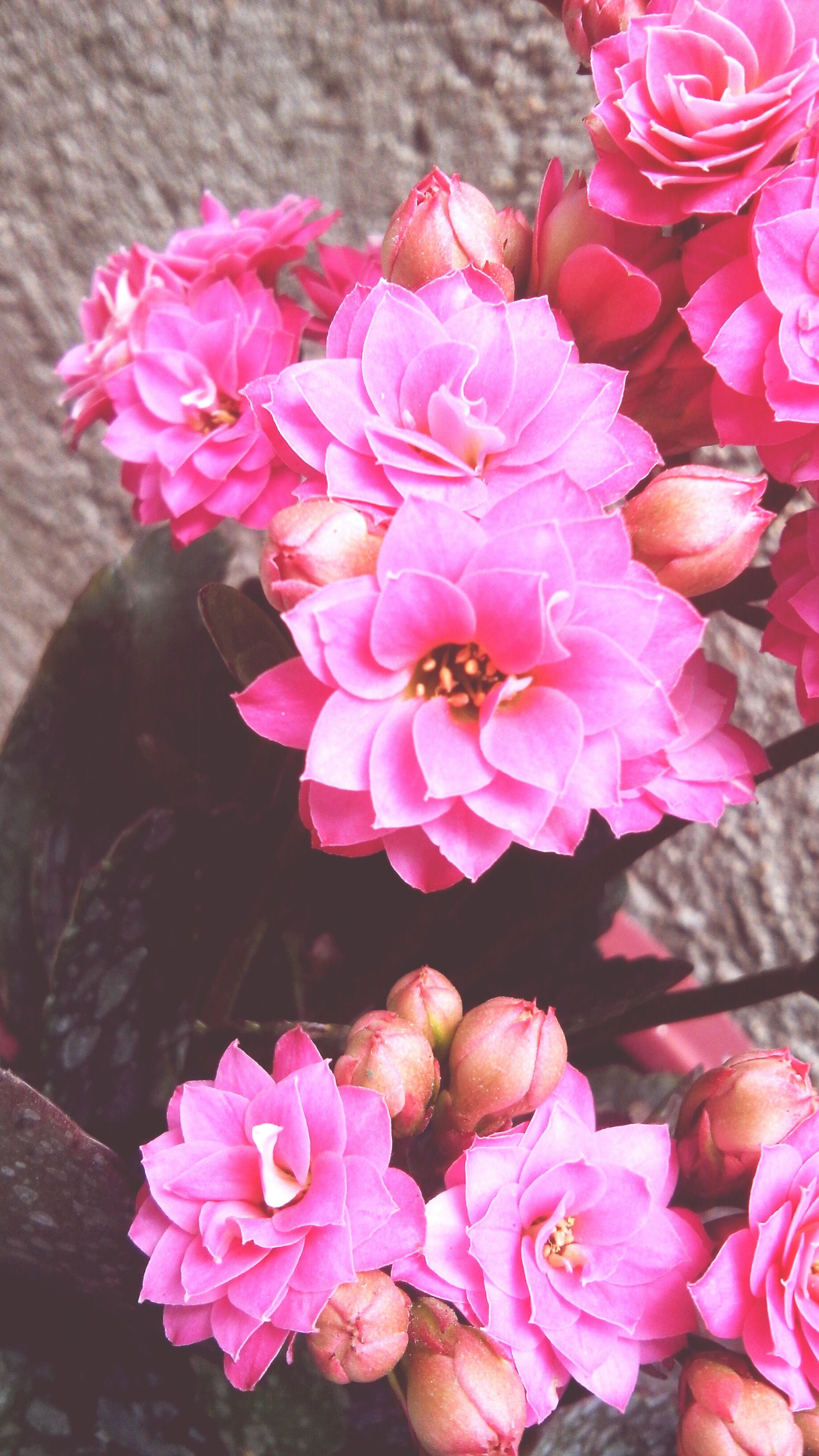 flower, pink color, petal, freshness, fragility, flower head, beauty in nature, close-up, nature, pink, growth, blooming, focus on foreground, rose - flower, indoors, plant, bunch of flowers, in bloom, no people, high angle view