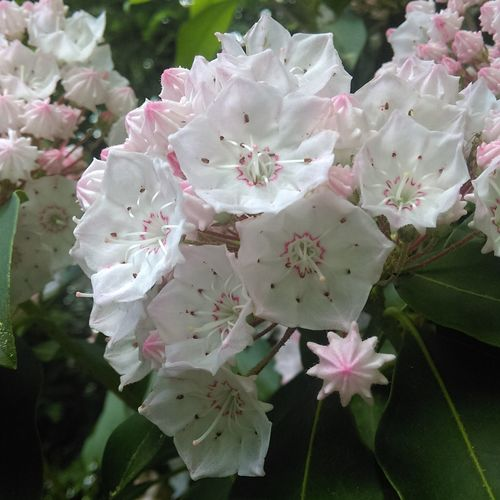 Mountain Laurel Carlsandburg First Eyeem Photo