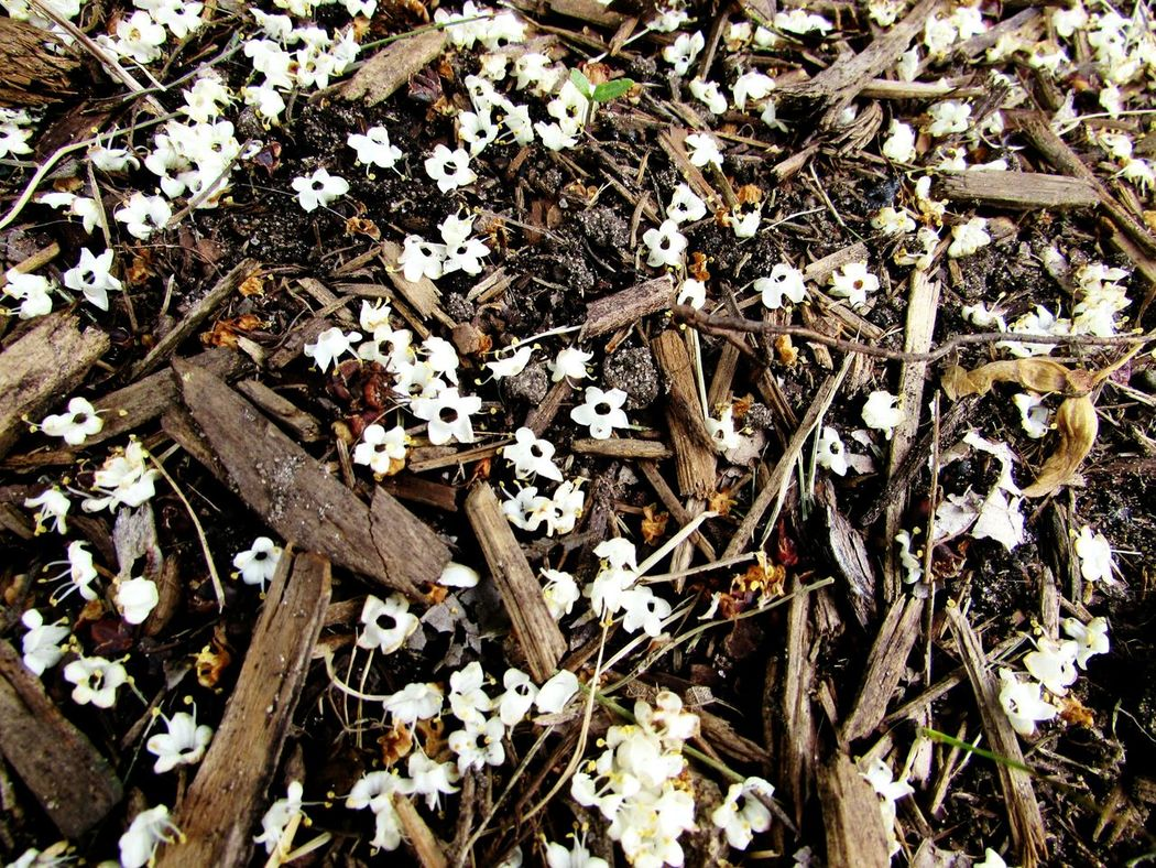 Outdoors Nature Day Flower Beauty In Nature High Angle View Mulch Texture Mulch Mulch Bed Fallen Blossoms Close-up White Blossoms White Blossoms On Ground Floral