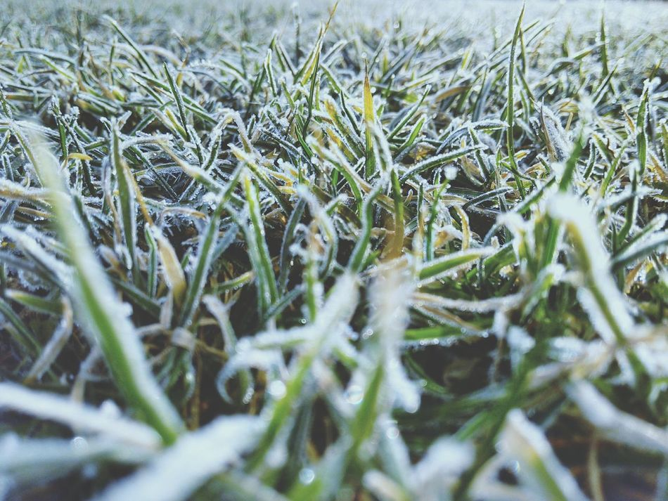 Frozen Grass Grassblades Frosty Mornings Glitter Nature Collection Growth Plant Green Color Nature Turf Green And Yellow  Cold And Warm Colours Macro Plants