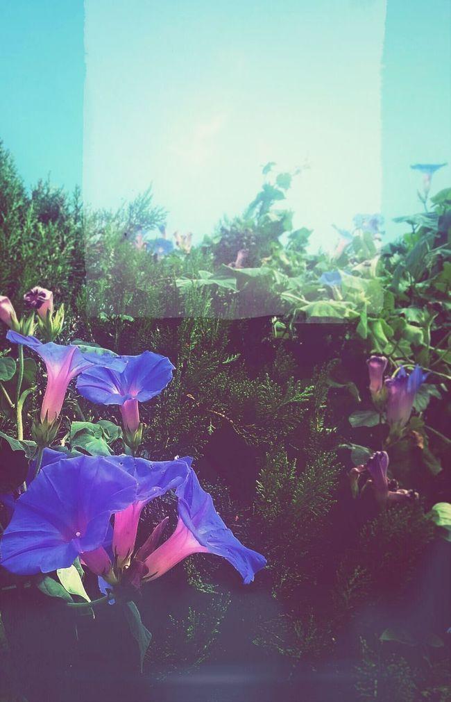 Blue ...Flowers Ipomea Blue Flowers