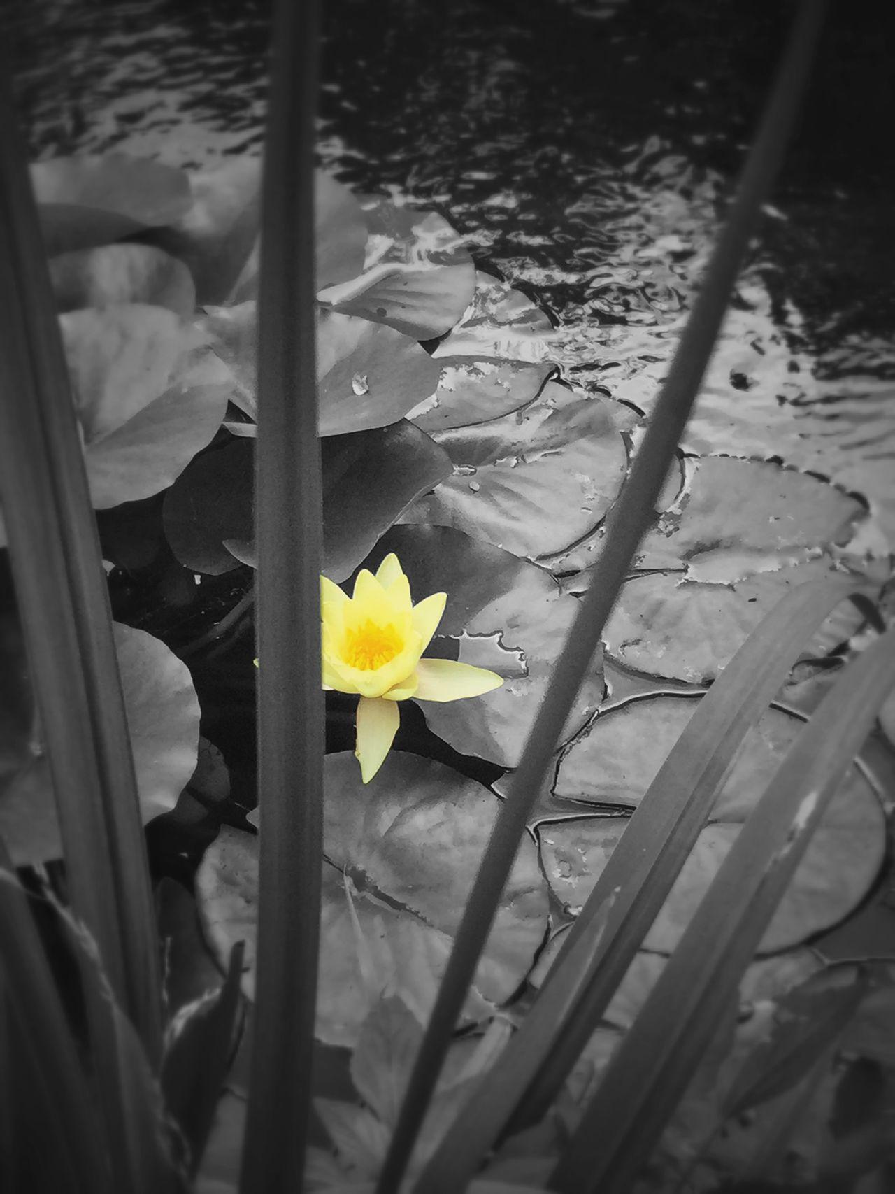 Missouri Botanical Garden Colorsplash Taking Photos Water Lily
