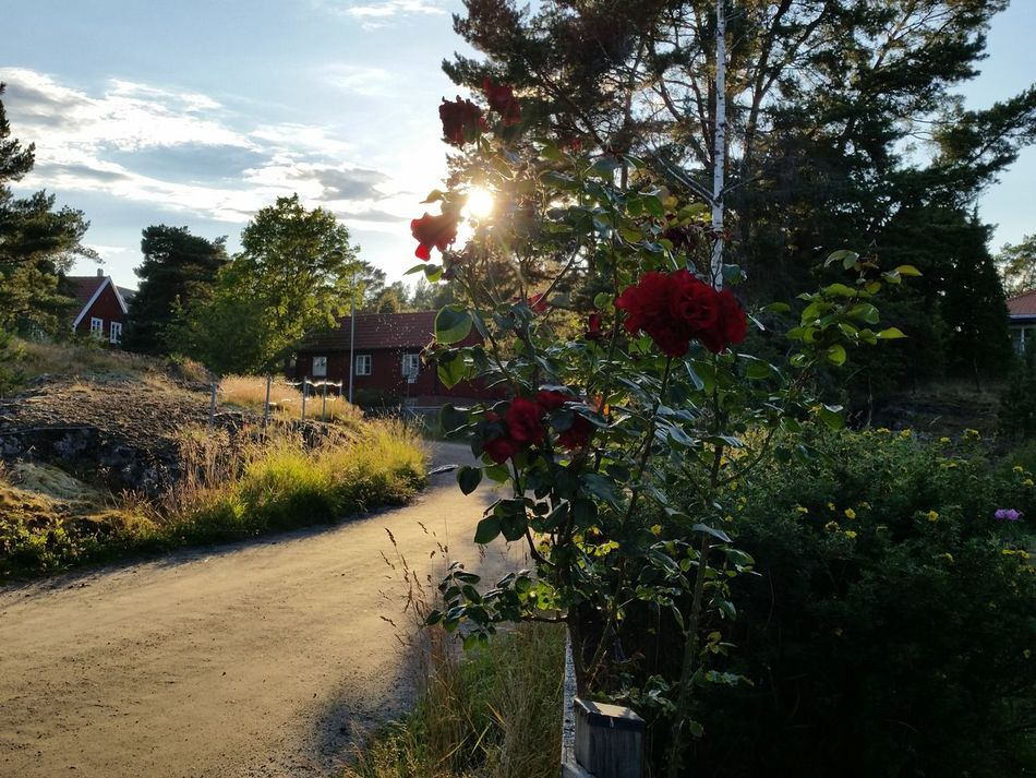 Small Town Roses Garden Golden Hour Swedish Lifestyle