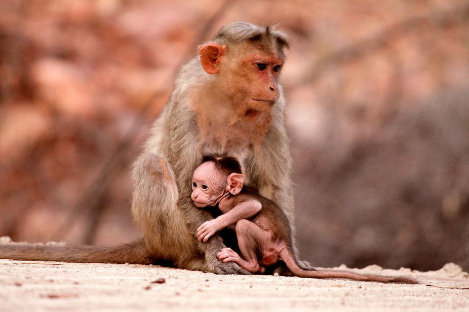 Animal Family Canon 1100D Focus On Foreground Gokak Mom And Baby Monkeys Mornings Mother And Baby Nature New Life Outdoors Wildlife Yogikolla