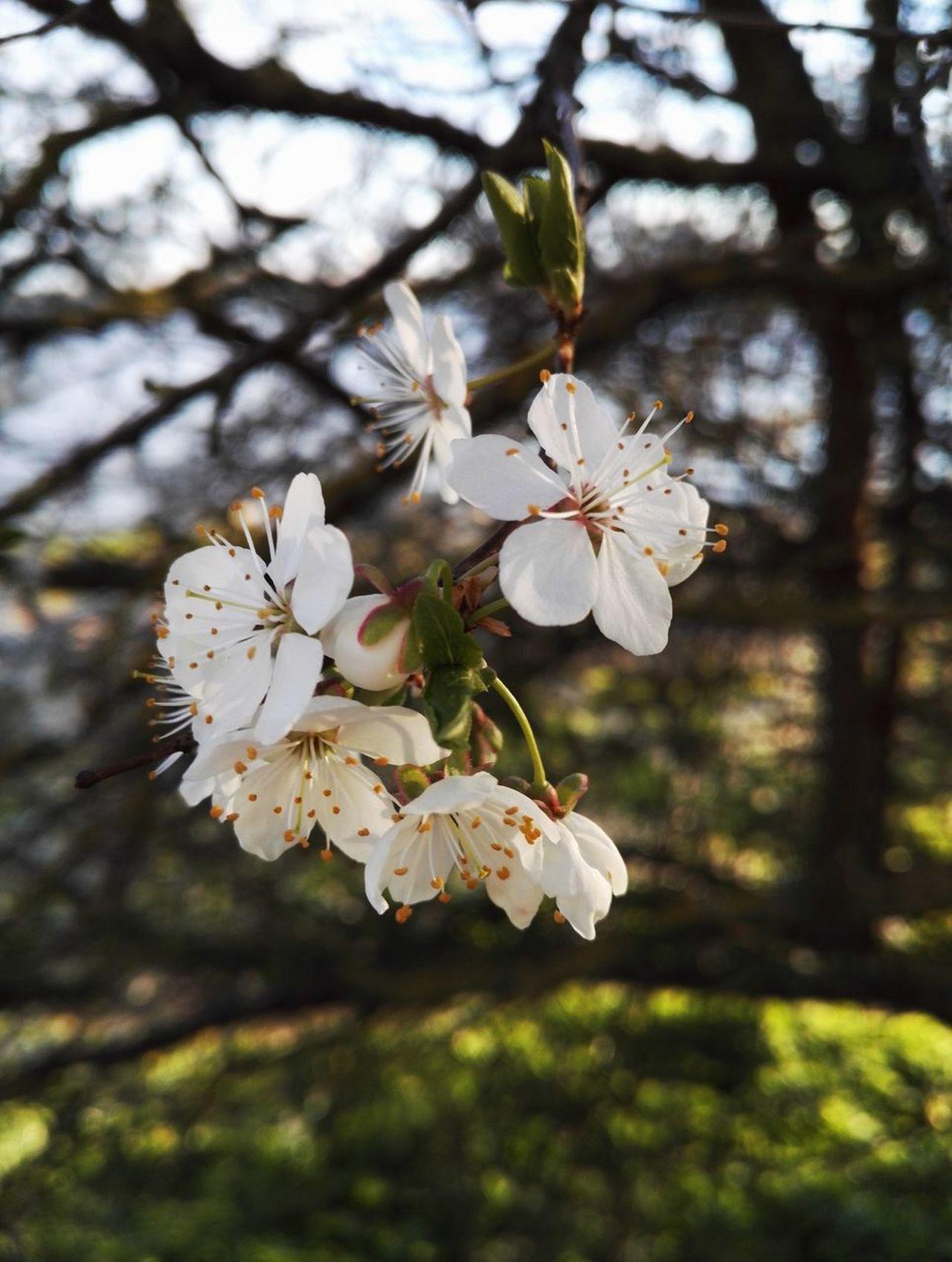Flower Blossom Springtime White Color Tree Apple Blossom Nature Apple Tree Beauty In Nature Close-up Day