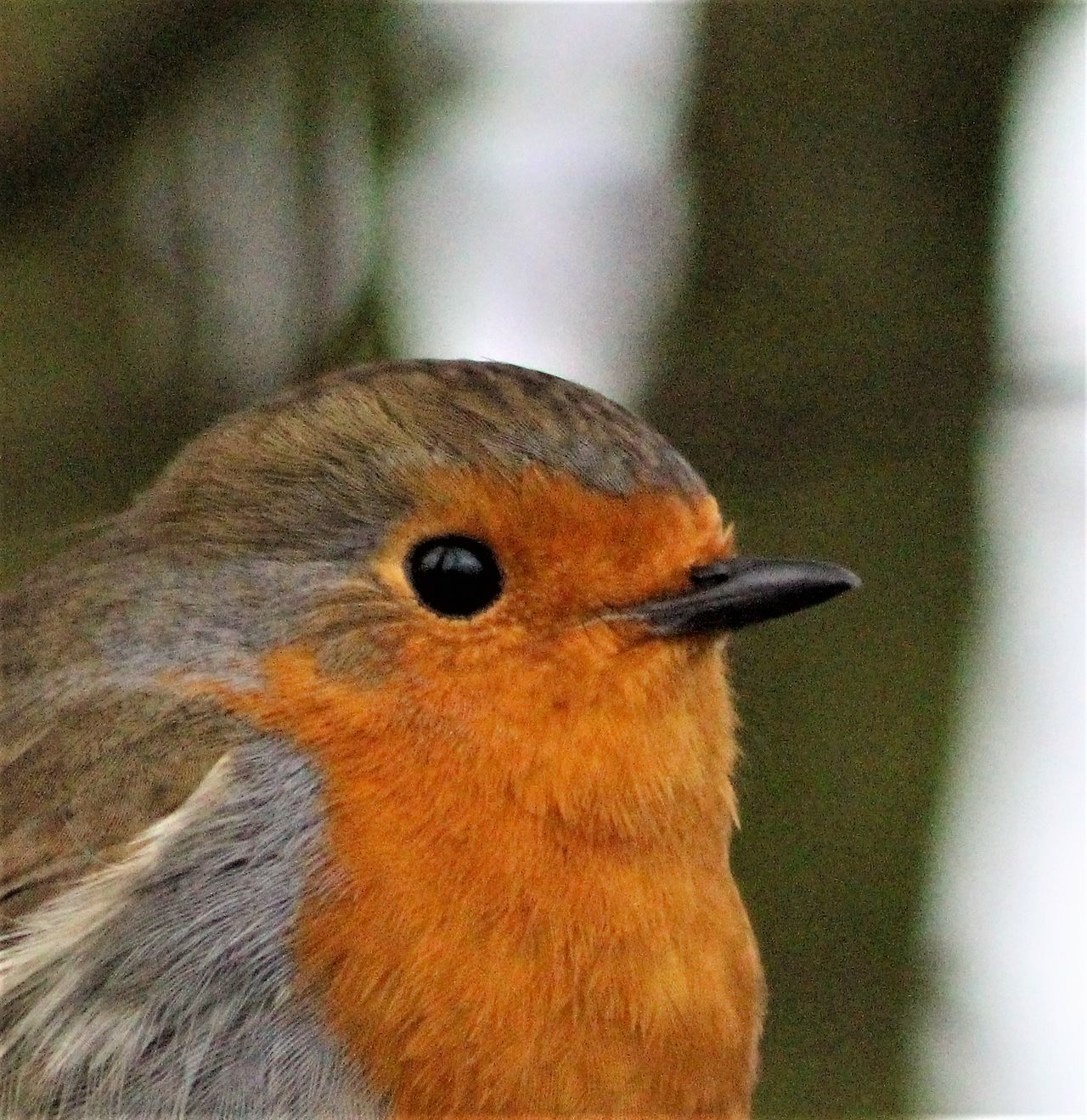 Animals In The Wild Bird Bright Eyes Close Up Close-up Portrait Robin Tame