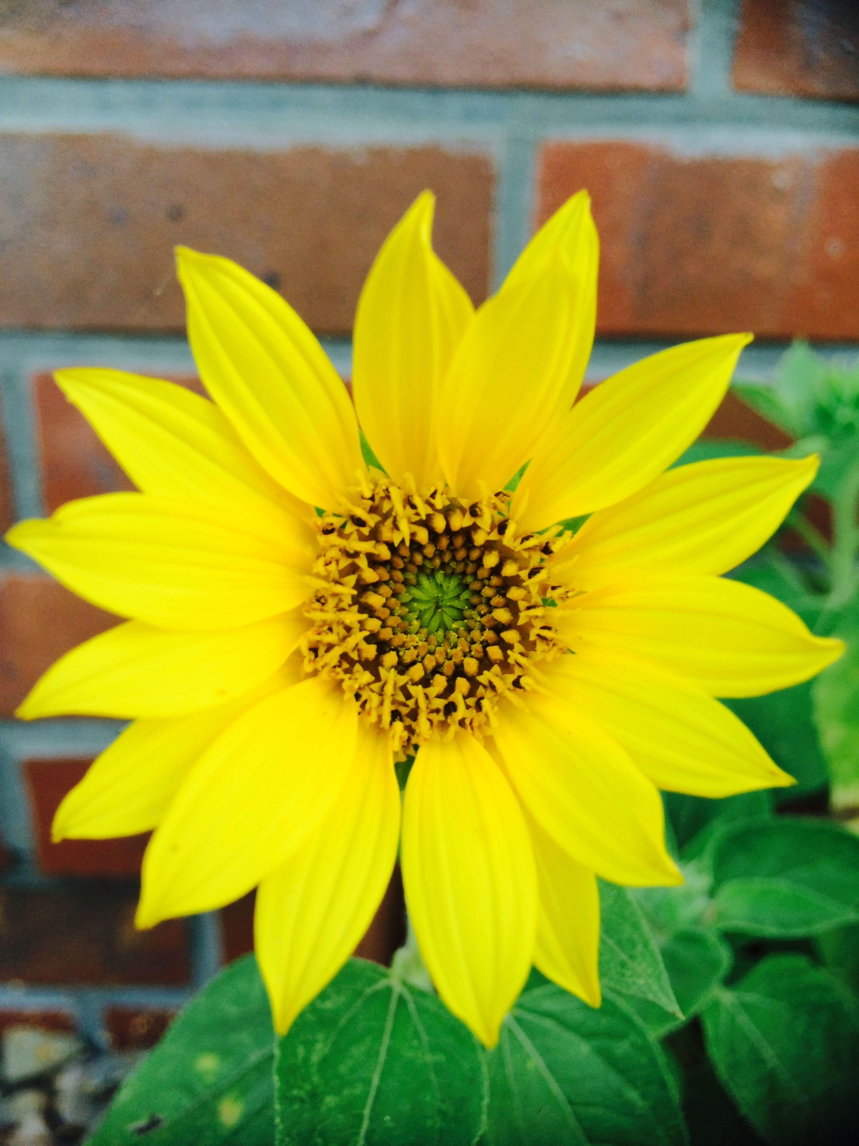 flower, petal, flower head, yellow, freshness, fragility, growth, close-up, pollen, blooming, beauty in nature, single flower, plant, nature, focus on foreground, leaf, in bloom, sunflower, day, outdoors