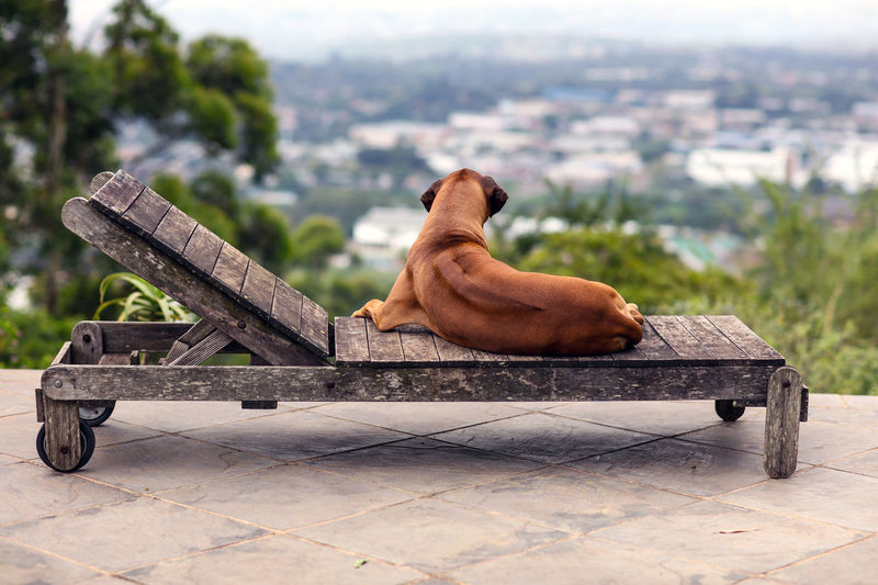 At the pool - looking at the view South Africa Animal Themes Day Dog Domestic Animals Life Of Riley Lounging Lounging Around Luxury Mammal No People One Animal Outdoors Pampered Pets Pampered Pooch Pet Pool Chairs Poolside Relax Relaxation Sitting