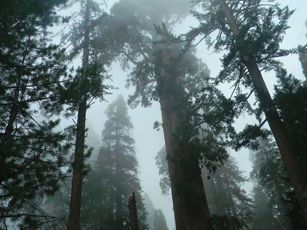 At Sequoia National Park. Tree Forest WoodLand Nature Tree Area Outdoors Fog Landscape Low Angle View No People Growth Power In Nature Sky Beauty In Nature Relaxing Enjoying Life Adventures State Park  Check This Out Hiking Snapshots Of Life Seqouia Trees Sequoia National Park California