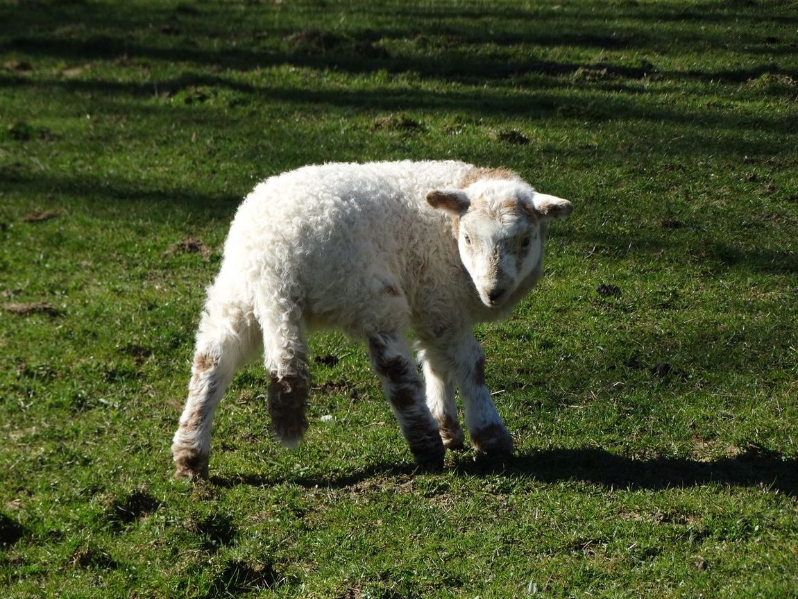 Lamb standing. Lamb Sheep Young Young Sheep Field Farm Animals Animal Nature Outdoors Photography Animal Themes Lambs Baby Baby Sheep Sheep In Field Lamb In Field Grass Nature_collection