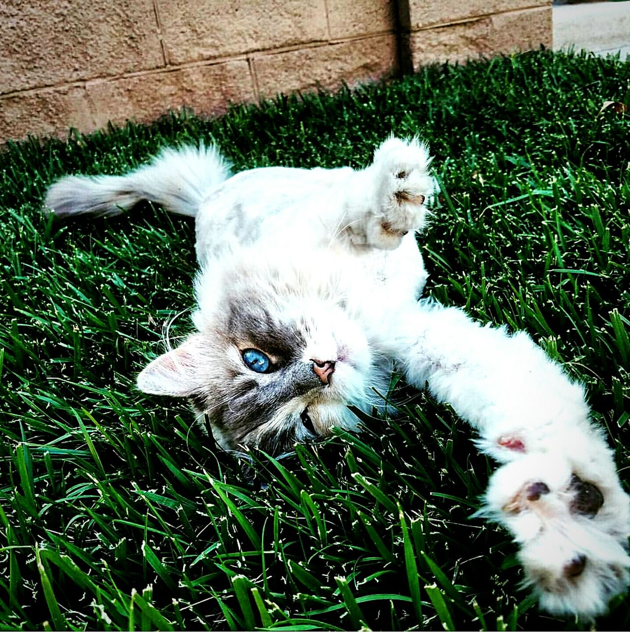 Daisy being weird in the grass ❤ Cat Kitty Mew Meow Grass Photography Cinematography Beautiful Beauty In Nature For Sale Feline Cats Kittys