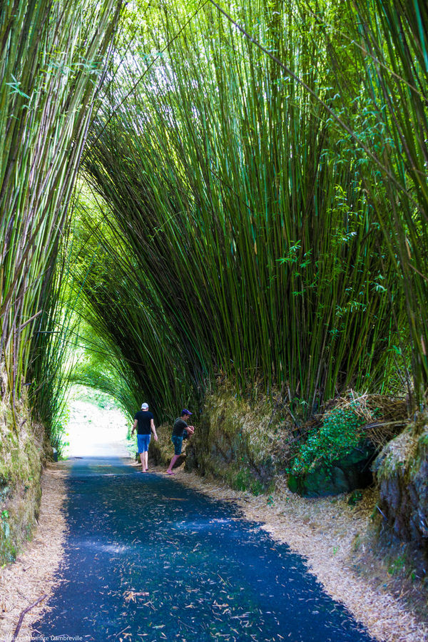 Reunion island at Salazie Bamboo Forest Bamboo Tunnel Beauty In Nature Crop  Day Farm Field Grass Green Color Growing Growth Narrow Nature Outdoors Plant Relaxing Moments Reunion Island Rural Scene Salazie Summer Tranquil Scene Tranquility Tropical Climate Vacations