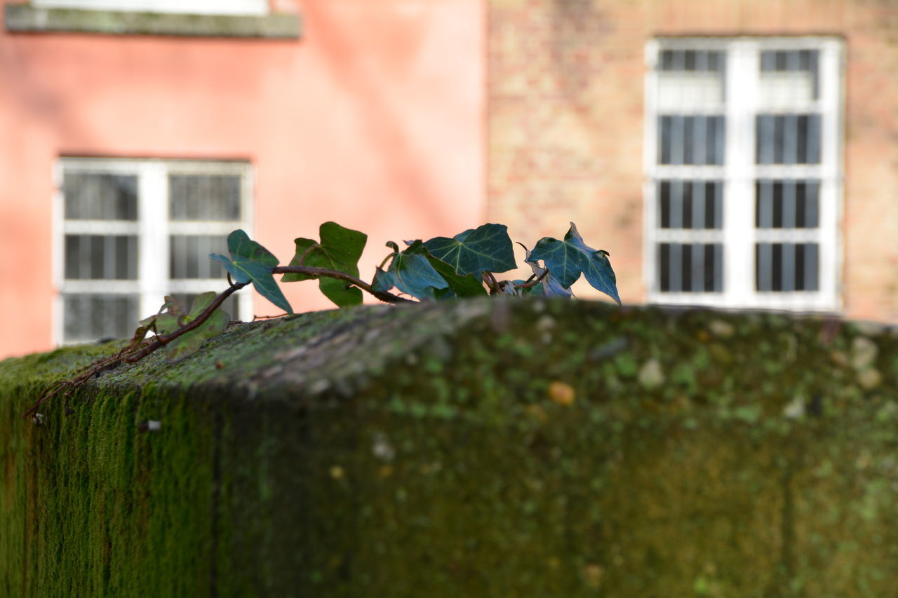 Close-Up Of Ivy Growing On Retaining Wall Against Building