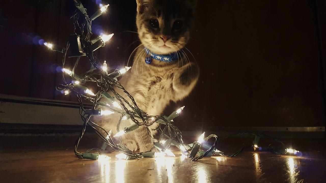 Showcase: December Kitten Cat Beautiful Pets Christmas Christmas Lights Chritmastree Chritmas Time Holidays Precious PreciousMoments in Newburgh, Maine