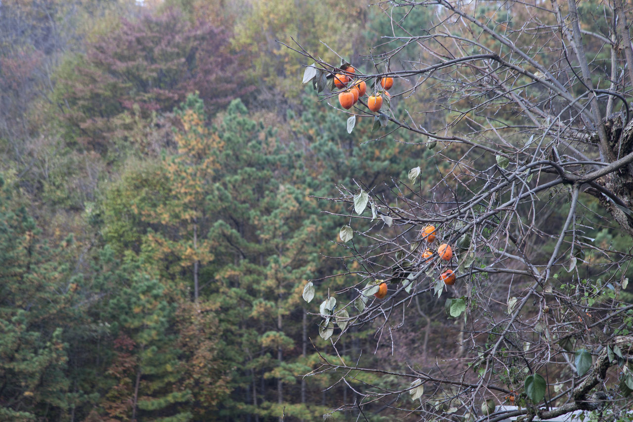 autumn in Maisan Mountain, Muan, Jeonbuk, South Korea Animal Themes Animals In The Wild Autumn Beauty In Nature Branch Day Fall Forest Freshness Maisan Nature No People Outdoors Persimmon Tree