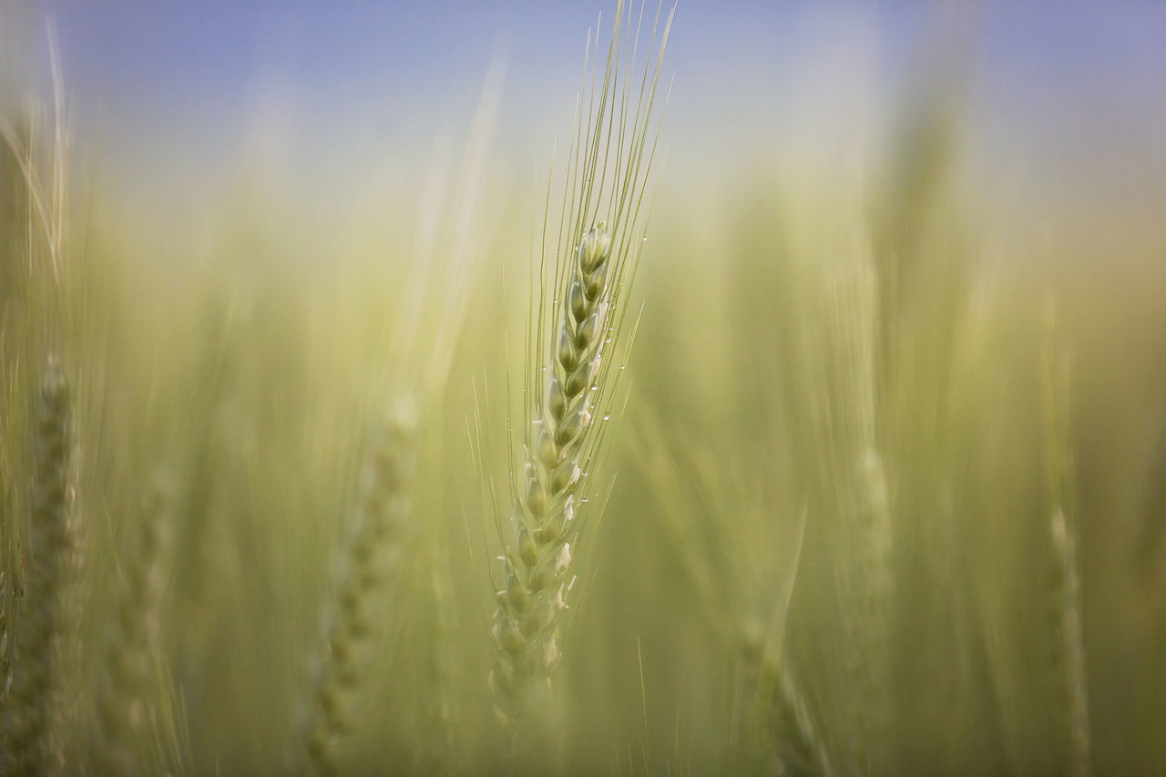 growth, cereal plant, nature, ear of wheat, crop, wheat, agriculture, farm, field, beauty in nature, close-up, day, tranquility, no people, rural scene, outdoors, green color, plant, grass, freshness, sky