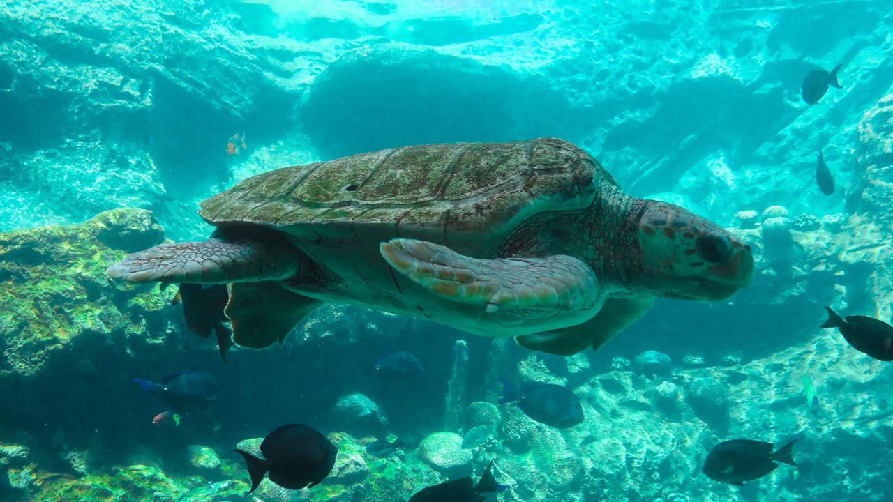 Sea Turtle :) Sea Turtle Swimming Seaworldorlando Sea Turtle Seaworld Animals Animal Photography Animal Love Seaturtle Turtle