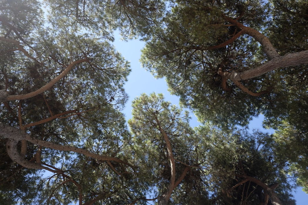 Pines Beauty In Nature Branch Day Forest Growth Low Angle View Nature No People Outdoors Pines Forest Sky Tranquility Tree Tree Trunk