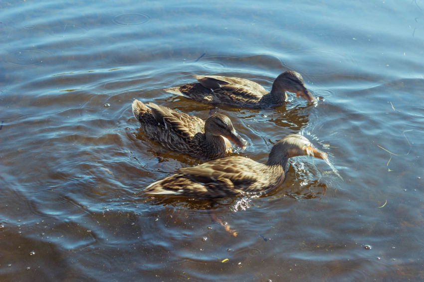 Ducks Animal Themes Animal Wildlife Animals In The Wild Beautiful Beauty In Nature Bird Day Duck Karelia Lake Nature Nature Photography Nature_collection Russia Summer Swimming Warm Water Water Bird вода карелия красота Природа птицы Россия